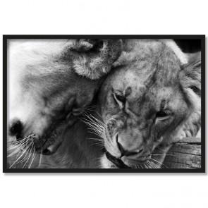 Poster Löwinnen Rahmen