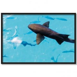 Poster Ammenhai im Meer Rahmen